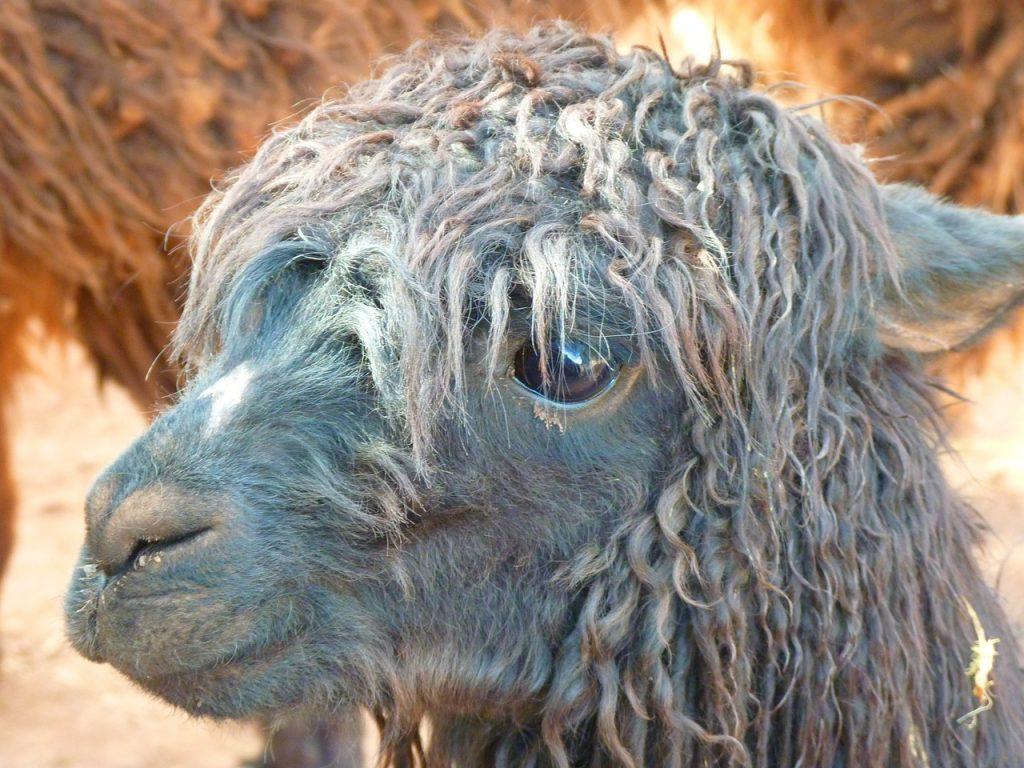 alpaca using too many sulphates