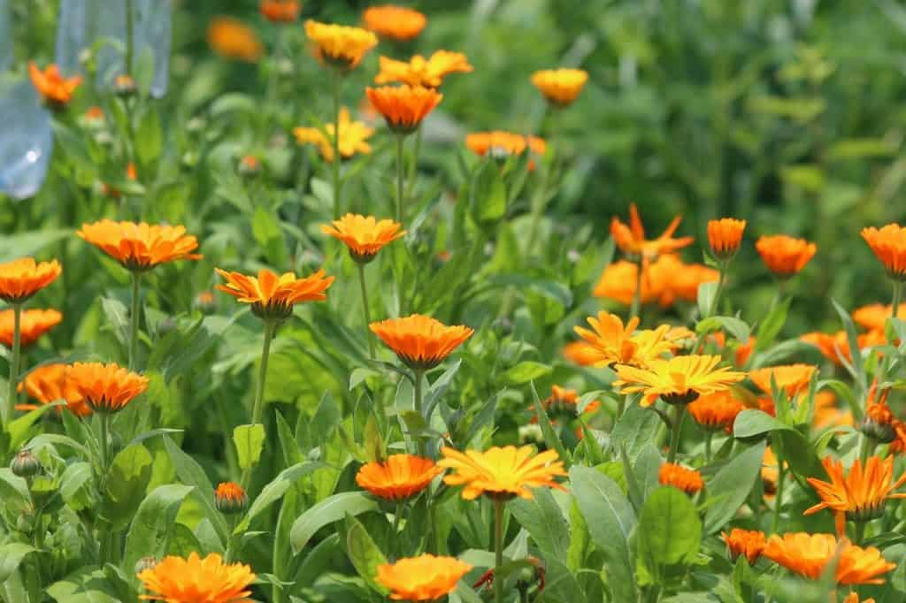 Calendula: How Many Ways Can This Miracle Herb Help You?